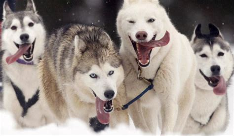 white husky puppies for sale white husky puppies for sale image search results