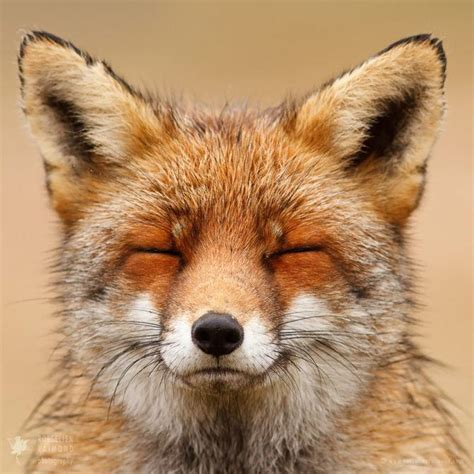 breeds that look like foxes that looks like fox breeds picture