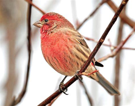 backyard birds utah house finch