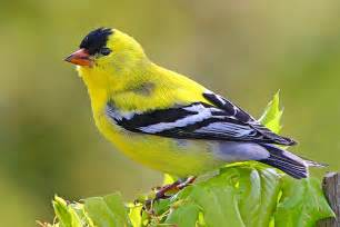 ovaltes american goldfinch the beatiful yellow birds