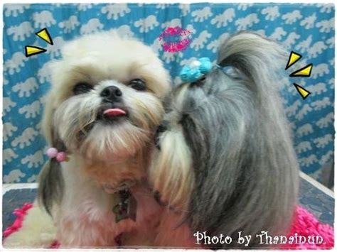 shih tzu ponytail 20 adorable shih tzus with stunning haircuts hairstylec