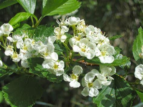 fiori di biancospino tintura madre biancospino tintura madre propriet 224