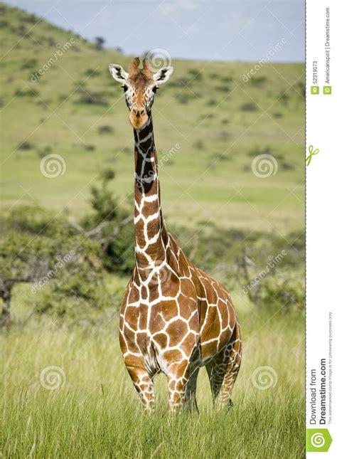 imagenes graciosas jirafas masai or kilimanjaro giraffe stock image cartoondealer