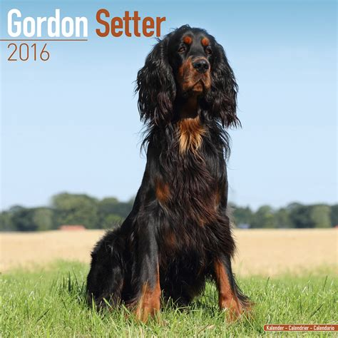 gordon settee dachshund wall calendar 2016 dog breeds picture