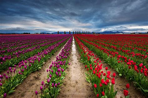 netherlands tulip fields 15 incredibly colorful flower fields around the world bored panda