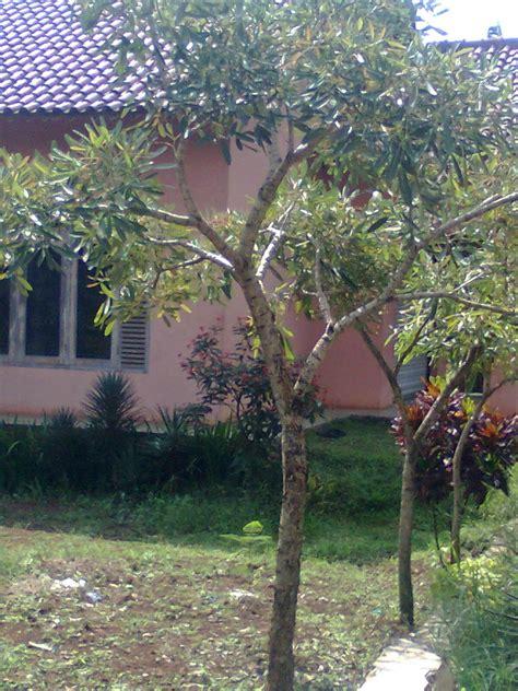 jual pohon tabebuia kuning murah pohon tabebuya murah