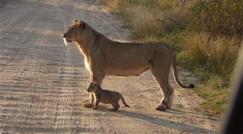 when a lioness growls a s pride books adorable cub with its africa geographic