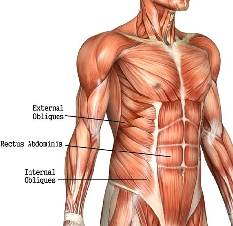 rectus abdominis muscle leftright isolation bigger