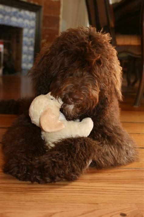 doodle chocolate 1000 ideas about chocolate goldendoodle on