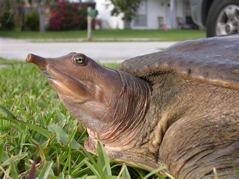 file eastern spiny softshell turtle jpg wikimedia commons