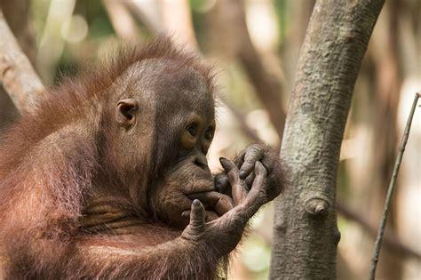 baby orangutan budi  miraculous recovery daily mail