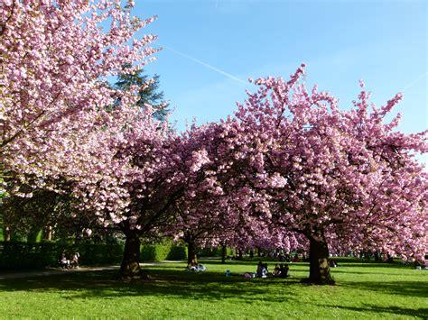 file cerisiers en fleurs au parc de sceaux jpg wikimedia