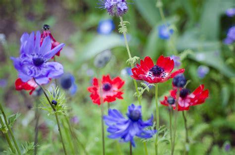 grow  care  anemone flowers