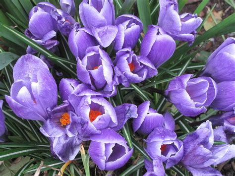 north coast gardening blog crocus plant profiles