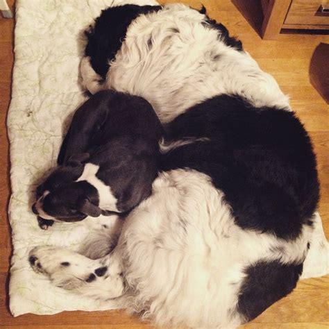 cuddly breeds big cuddly breeds picture