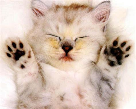 Cat Wallpaper For Home | little cat wallpaper fun animals wiki videos pictures