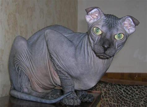 Ukrainian Levkoy   Cat Breed Selector