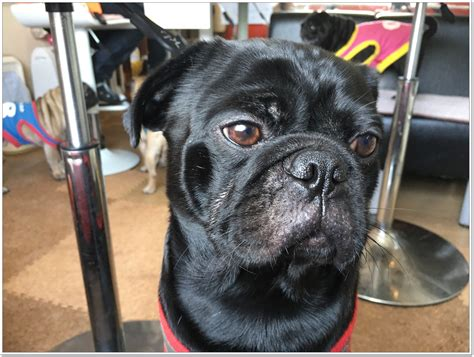black pug cafe pug cafe quot living room quot this cafe is of pug pug
