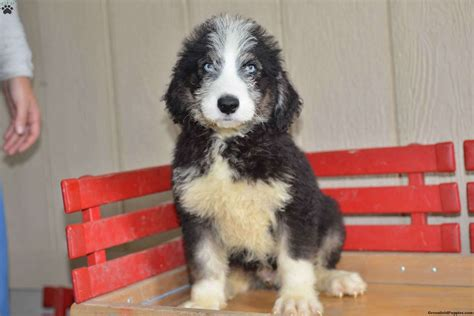 huskapoo puppies for sale daryl siberian husky poo puppy for sale in ohio