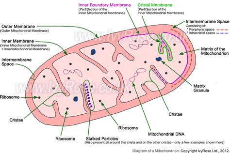 labelled diagram of a mitochondrion draw and labeled diagram of mitochondria brainly in