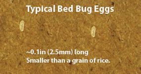 How Many Eggs Do Bed Bugs Lay Bed Bug Egg 01