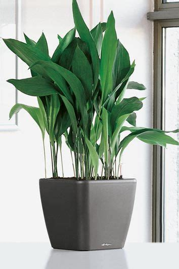 aspidistra elatior non toxic to pets and people supposed to be extremely easy care plants that