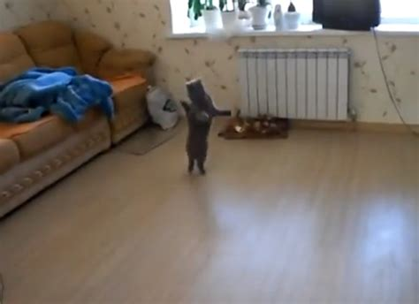 walking on hind legs cat walking on its hind legs is briefly hilarious huffpost uk