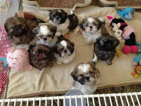 how many puppies do shih tzu 595 best images about shih tzu pictures on maltese shih tzu shih tzus and