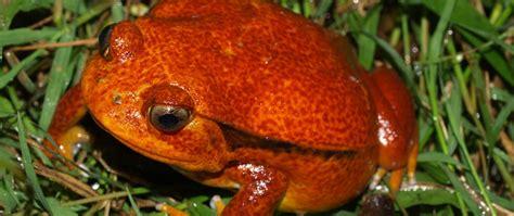 tomato frog dyscophus spp care sheet amphibian care