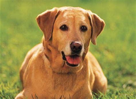 are there different types of golden retrievers different kinds of labrador retrievers breeds picture