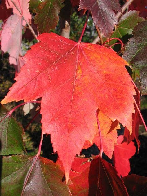 sunset maple tree root system acer rubrum plant information