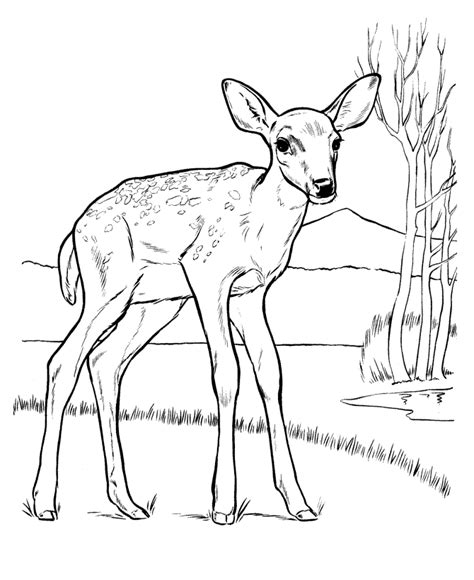 free white tail dear coloring pages
