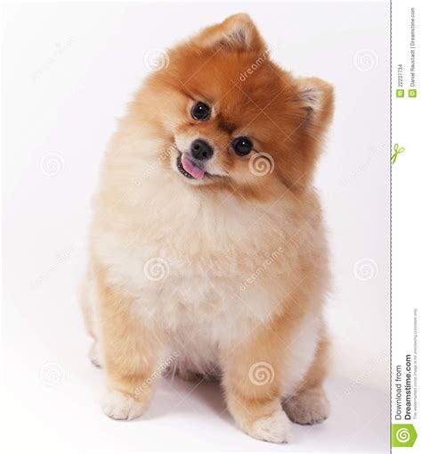 looking for pomeranian puppy 30 most beautiful pomeranian photos and pictures