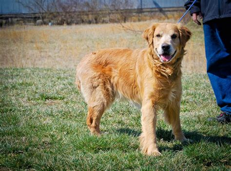 golden retriever maryland rescue maryland