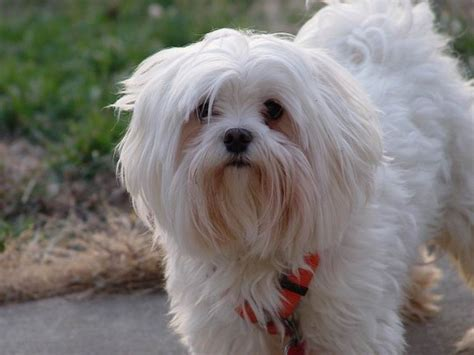 maltese grooming styles with long and short hair maltese haircuts that are are perfect for your pet