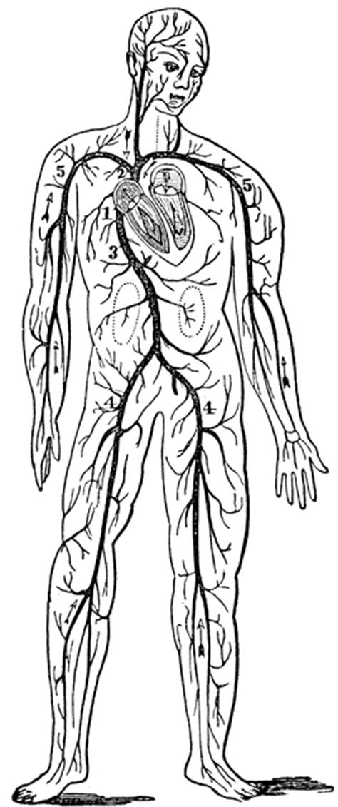 anatomy coloring book nervous system circulatory clipart etc