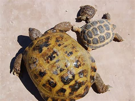 russian tortoises rules of the jungle characteristics of russian tortoises
