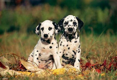 dalmatian puppies for sale iowa dalmatian puppies akc calmcoat akc calm coat dalmatian