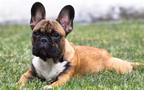 bulldog francese alimentazione bulldog francese bouledogue fran 231 ais informazioni sulla