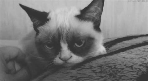 black and white grumpy cat gif wifflegif