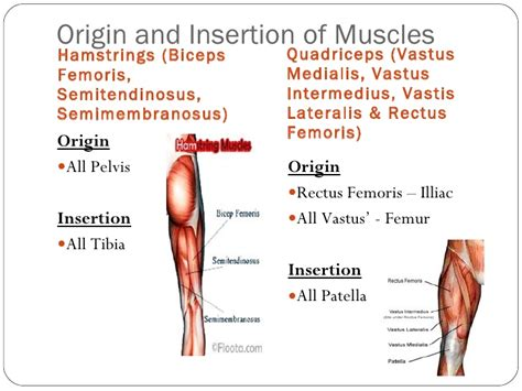 muscle origins and insertions origin and insertion of major muscles fibre