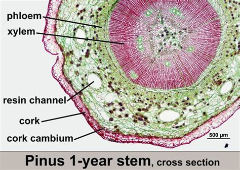 pinus leaf cross section pinus phylum coniferophyta biology nature pinterest