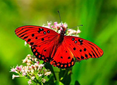 imagenes mariposas rosas reales galer 237 a de im 225 genes mariposas de colores