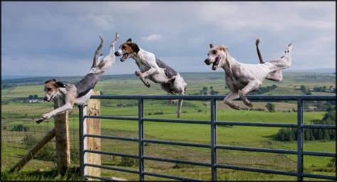 jumping fence silver jumping bull flag resistance