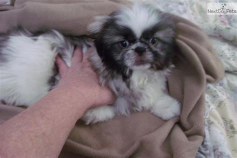 boxer puppies for sale in eastern nc pekingese puppy for sale near eastern nc carolina 300b911c 4e61