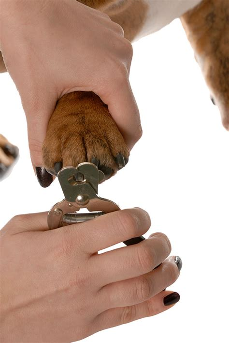how to clip puppy nails how to clip your pet s nails