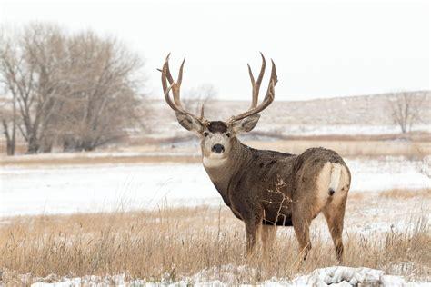 Deer Vs differences between deer elk moose and reindeer