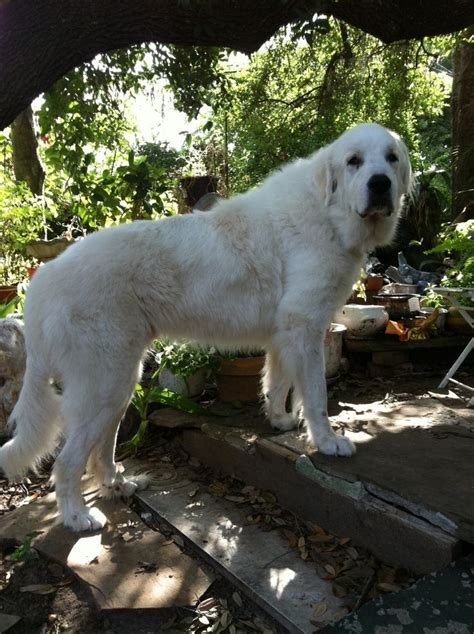 great pyrenees rescue provides wonderful dogs to good homes 40 best images about texas great pyrenees rescue adopt
