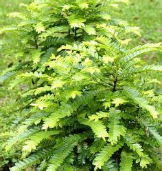 Tanaman Obat Herbal Pletekan tanaman kedondong laut daun berlangkas tanaman obat