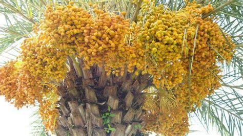 Bibit Kurma Kuning Benih Tanaman Pohon Kurma Kuning Bibit Buah Kurma jual benih biji bibit buah kurma kuning toko berkah